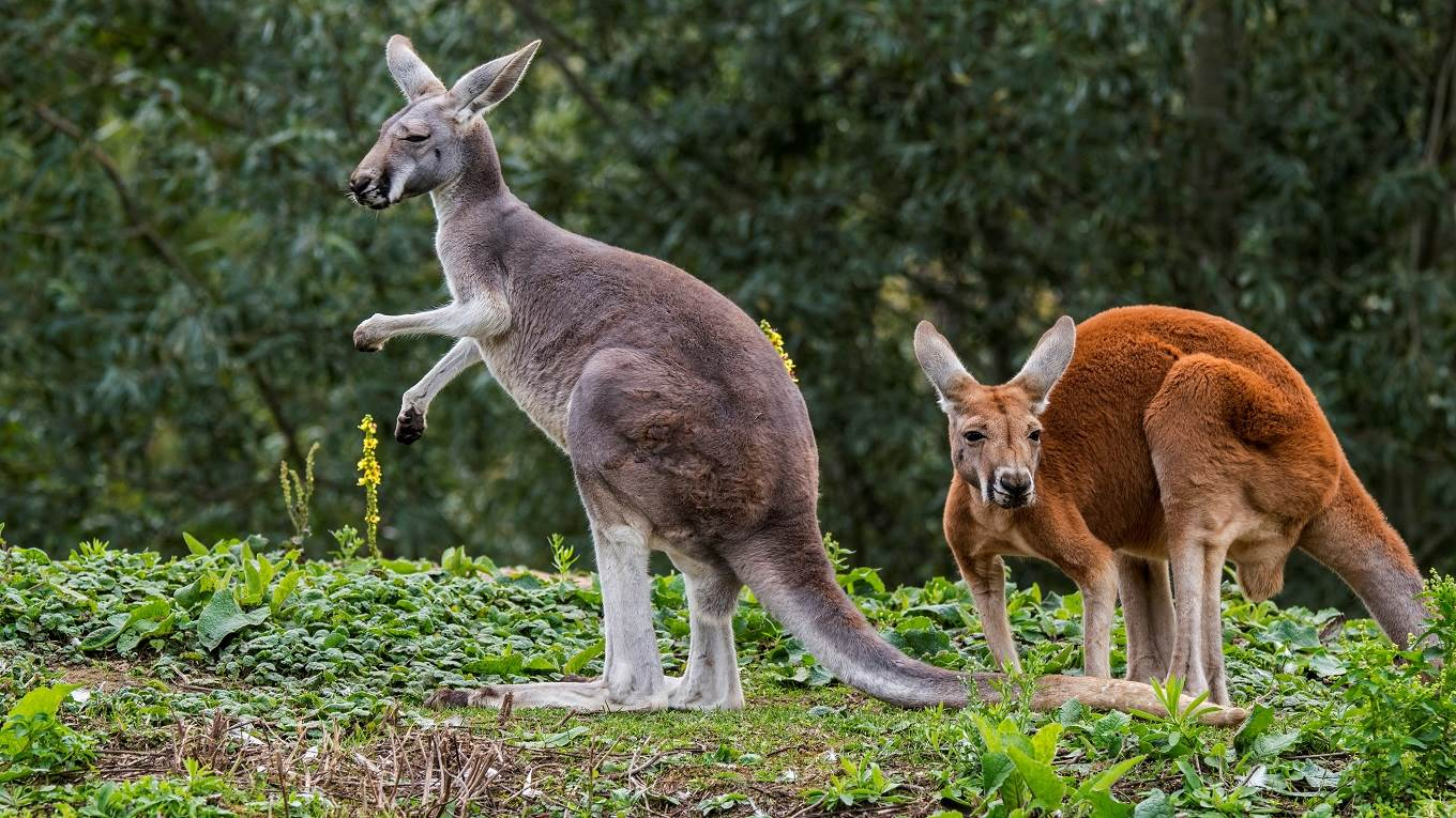 the nation of kangaroos by peter singer project syndicate
